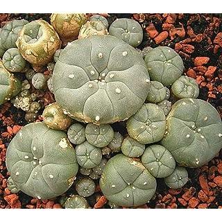 Lophophora williamsii v Villa Arista - Peyote - 10 Samen