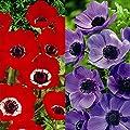 Gartenanemonen Hollandia/Mr. Fokker von Meingartenshop bei Du und dein Garten