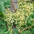 Weinrebe weiß Solaris, 1 Rebstock von Amazon.de Pflanzenservice - Du und dein Garten