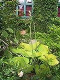 Hosta x cultivars 'Sum and Substance' - 2 Pflanzen im 1 lt. Rundtopf