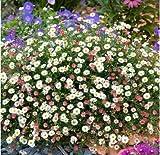 Acecoree Samen- 100 Gänseblümchen Bodendecker Blumensamen Staudenbeet Winterhart Mehrjährig Blumen Saatgut Sommer Blüten bienenfreundliche für Balkon/Steingärten