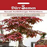 Bonsai Rotblättriger Fächerahorn, Acer palmatum atrpurpureum, ca. 10 Samen