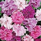WuWxiuzhzhuo Big Förderung 100Stück Gemischt Farbe Garden Sweet Witwenblume Blume Bonsai Innen Pflanze 1
