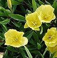 Duftende Nachtkerze Yella Fella - Oenothera pilosella von Baumschule - Du und dein Garten