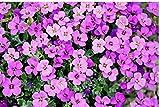 Zopix Poster Blaukissen Gartenpflanze Lila Wandbild - Premium (70x50 cm, Versch. Größen) - Leinwand Alternative - Inklusive Poster-Stripes
