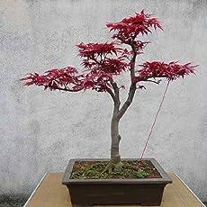 AchidistviQ 10pcs Japanischer Ahorn Baum Acer palmatum Seeds Garten Wohndekoration Bonsai