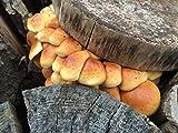 Bio Stockschwämmchen Substrat Pilzbrut - Pilze selber züchten - Substratbrut