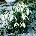 Gärtner Pötschke Schneeglöckchen von Gärtner Pötschke auf Du und dein Garten