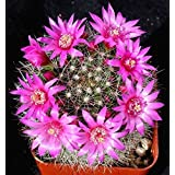 Pincushion Cactus, Plant Live With Pot Include Table Top Plant With Bloom Flowers