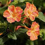 Red Dot gelb Petals Jasmin Samen Duftende Pflanze Mirabilis Jasmin Blume Samen Garten-Topfpflanzen Bonsai 20Samen/Pack