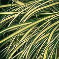 Herbstzauber Segge 'Evergold' Carex von Kientzler Pflanzen - Du und dein Garten