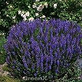 Ziersalbei Sensation Sky Blue - Salvia nemorosa