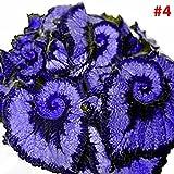 Rosepoem Schöne Begonien-Samen Das Pflanzen ist einfach Romantische Blumen für Haus- und Gartenpflanzung 50 STÜCK