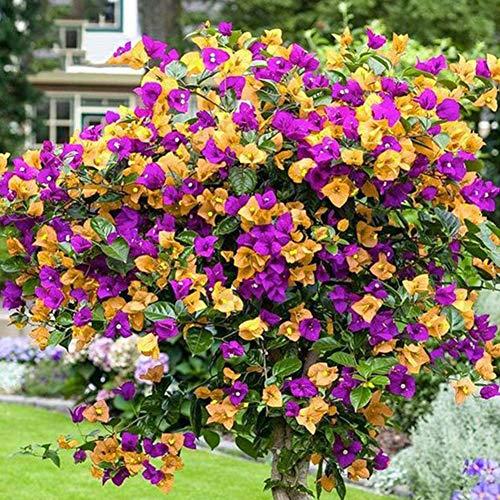 luo-401xx 200pcs semi di fiori misti di bouganville spectabilis, bella pianta facile da coltivare bonsai balcone per la decorazione del cortile del giardino di casa semi di bouganville spectabilis