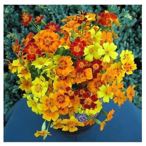 Schmalblättrige Studentenblume - Tagetes tenuifolia - Blume - 50 Samen