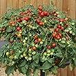 Tomato 'red Profusion' Plants x 3 in 9cm pots.