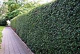 Liguster Atrovirens Heckenpflanzen 50-80 cm hoch 4-5 Triebe im Rabatt-Paket-Liguster Atrovirens Wurzelware - floranza® 10 Stück
