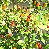 10 Samen Chiltepin Chili - Urform der Chilis, riesige Pflanze und Massenernte