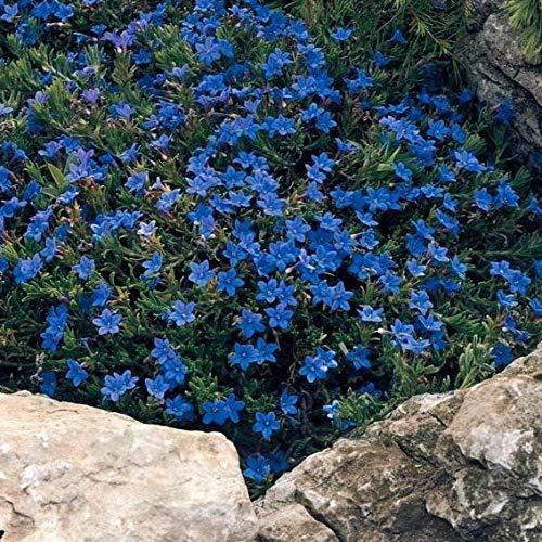 Qulista Samenhaus - Rarität Seifenkraut Bodendecker Mischung Mit unzähligen Blüten, 100pcs Polsterphlox Kletterpflanzen Blumensamen mehrjährig winterhart, für Stein- und Dachgärten
