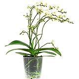Orquídea de Botanicly – Orquídea mariposa – Altura: 50 cm, 4 brotes, Flores blancas – Phalaenopsis multiflora Soft Cloud