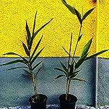 Riesen Moso Bambus Pflanze -Phyllostachys edulis- (Winterharter bis - 20C°) **Rarität**