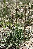 Samen Plantain von Indien, Wegeriche Forsythie, 5Gramm