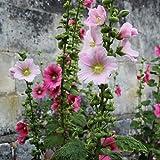 Hortiflor Bureau -Rose Trémière Simple En Mélange - Alcea Rosea (Lot De 3 Pieds)