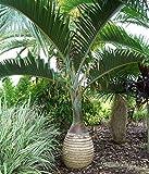 Blumen-Senf Flaschenpalme - Fasspalme sehr selten Hyophorbe lagenicaulis 30 cm