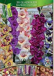 Dominik Blumen Und Pflanzen, 786247 Exklusives Bambino-gladiolen, Frabmischung 2x 20-er Set