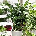 Set Aloe vera + Kaffee + Zimt-Aroma, je 1 Pflanze von Amazon.de Pflanzenservice bei Du und dein Garten