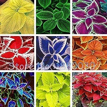 Fiori Cioler 50 pz/borsa semi coleus semi di colori rari semi di begonia bonsai piante da fiore balcone