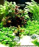 Mühlan - Wasserpflanzensortiment für Anfänger und Neuaquarianer, pflegleicht, dekoativ, wiederstandsfähig inkl. Dünger