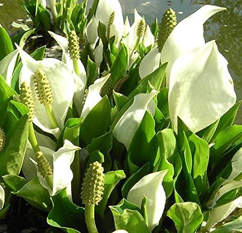 Wasserpflanzen Wolff - Lysichiton camtschatcensis - Scheincalla, weiß