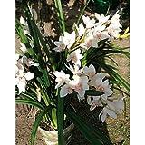Set 2 x Orchidee Cymbidium im Topf, weiß-rosa, 130 cm - Künstliche Pflanze / Orchideen - artplants