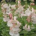 lichtnelke - Bartfaden (Penstemon APPLE BLOSSUM) von Lichtnelke Pflanzenversand - Du und dein Garten