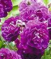 BALDUR-Garten Rambler-Rosen 'Bleu Magenta', 1 Pflanze von Baldur-Garten - Du und dein Garten