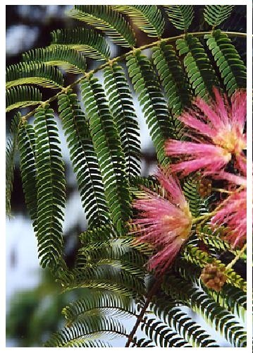 TROPICA - Arbre de soie (Albizzia julibrissin) - 50 graines- Bonsai