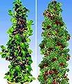 BALDUR-Garten Säulen-Beeren-Kollektion,2 Pflanzen von Baldur-Garten bei Du und dein Garten