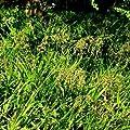 Wald-Simse Blüte hellbraun von VDG-Stauden - Du und dein Garten