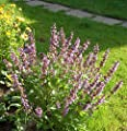 Salvia officinalis - Echter Salbei, 6 Pflanzen von Dachstauden auf Du und dein Garten