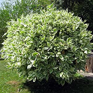 Plant World Seeds - Ficus Benjamina Seeds