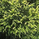 Gelbe Eibe 60-80cm - Taxus baccata Aurea