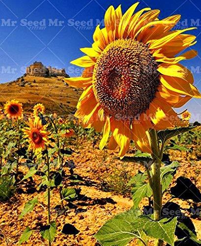 Pinkdose 20pcs Riesensonnenblume Pflanze große Blumen pflanzen schwarz Sonnenblumen- russisch Sonnenblumenpflanzen für Garten im Innenhof -