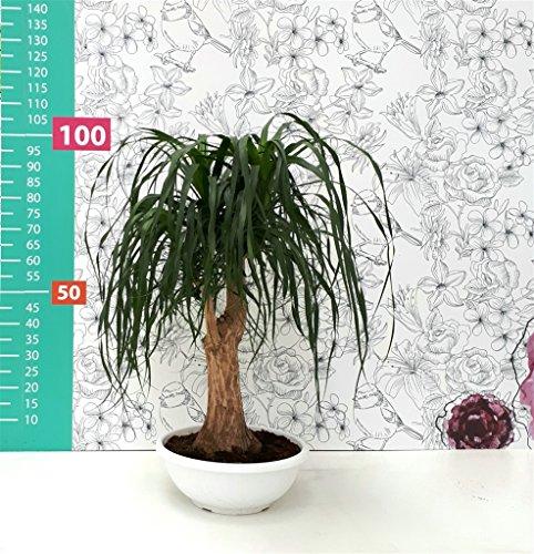 secretgiardino.com pianta vera verde depuratrice ornamentale pianta mangiafumo ramificata in vaso Ø 40 cm - h 100 cm