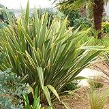Plant World Seeds - Phormium Tenax Variegata Seeds