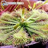 2016 Bonsai Sonnentau Samen Blau Enchantress Fleisch fressende Pflanze Tabelle Pot Drosera peltata Samen Venus Flytrap Samen 100pcs geben Schiff frei