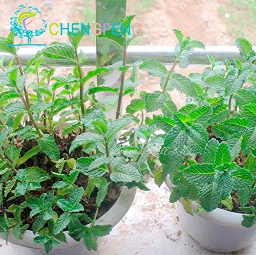 100 Menthe Mint graines comestibles de semences Cat Nip Fleur Plante Graines Légumes Windowsill Suivre Bonsai Délicieux Herbe