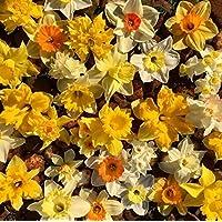 15 X Narcisi Misti - Daffodil Mix - Bulbi Alta Qualità (15)
