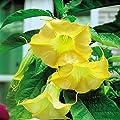 Engelstrompete Gold - 1 pflanze von Meingartenshop bei Du und dein Garten