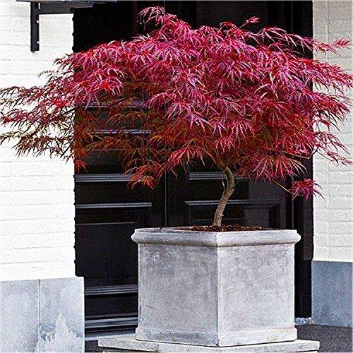 acer-palmatum-dissectum-firecracker-japanese-maple